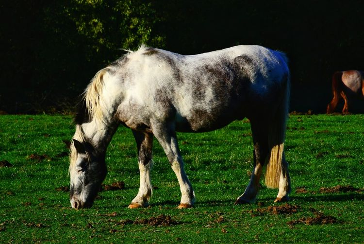 Horse Grass Livestock Hoofed Mammal Grazing