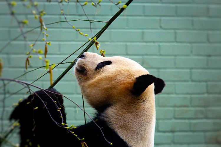 Panda eating bamboo stick