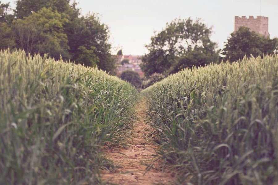 Growth Agriculture Field Crop  Nature Plant Rural Scene No People Landscape Tree Tranquility Day Outdoors Beauty In Nature Scenics Grass Sky