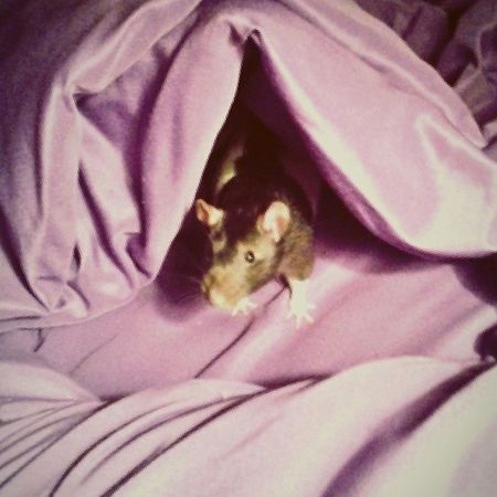 Cutie FancyRat Black White Brendel ♥