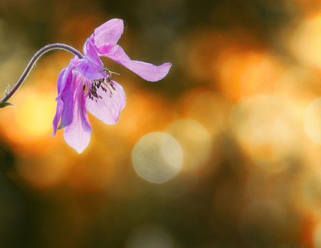 EyeEm Nature Lover Taking Photos Beauty In Nature Close-up Day Flower Flower Head Flowering Plant Focus On Foreground Fragility Freshness Growth Inflorescence Lens Flare Nature No People Outdoors Petal Plant Purple Selective Focus Sunlight Vulnerability