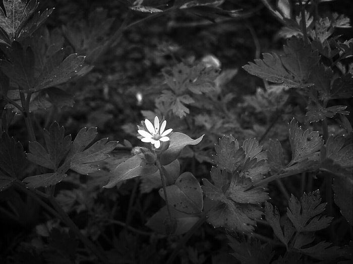 цветок  чернобелоефото