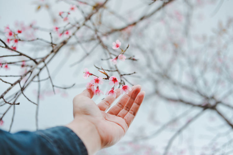 Happiness is within reach. Sakura Thailand Phitsanulok Beauty In Nature Nature Happiness Tree Flower Branch Pink Color Blossom Winter Close-up