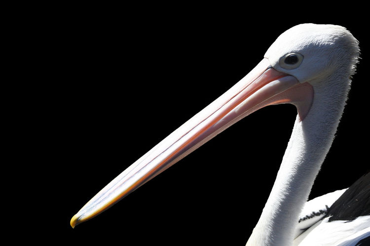 Pelican in australia