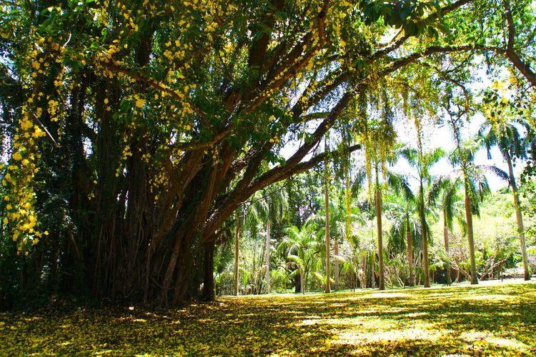 Botanical Garden, Kandy aprile 2016 Sri Lanka Tree Nature Tranquility Yellow Yellow Flowers Botanical Gardens Beauty In Nature
