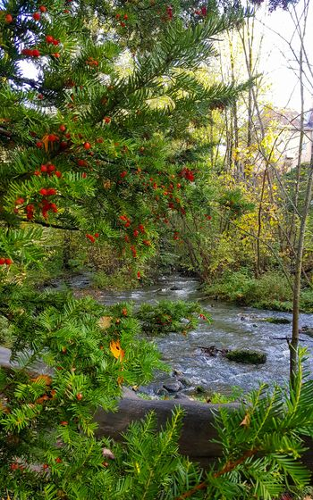 Nature Outdoors Beauty In Nature Beauty Of Nature Beauty In Nature Stream Autumn Colors Fall Colors Tranquility Autumn River Scene River Riverside Norway Taxus Baccata Yew Yew Berries Yew Berry