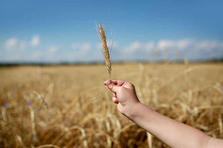 Hand holding wheat crop in field