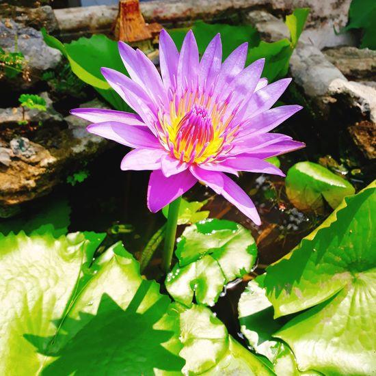 😍 mùng 1 đi chùa, thấy lòng bình yên hơn 😊 Leaf Water Lily Flower Head Petal Purple Growth Day Floating On Water Outdoors