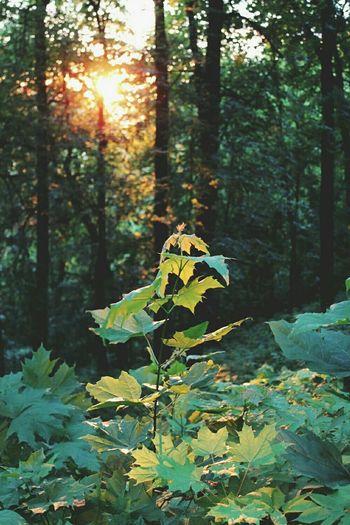 Nature Trees Maple