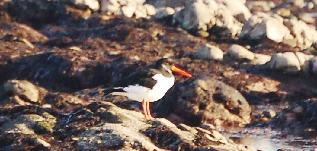 Oyster Catcher Seaside Rocky Beach Easthaven Carnoustie