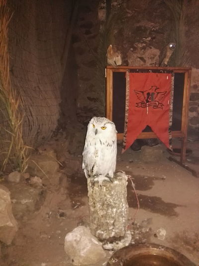 Owl Owl Eyes Owls💕 Owl Photography Medieval Fair Castro Marim No Filter, No Edit, Just Photography Check This Out Hanging Out Taking Photos Beautiful Nature