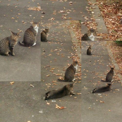 Cat Straycat 野良猫 自由猫 猫 Animals キジトラ Stray Cat キジトラシロ