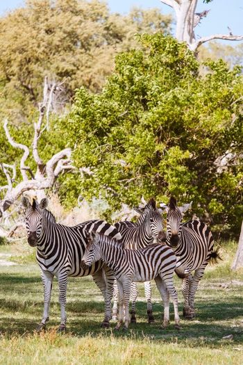 Zebras standing in a park