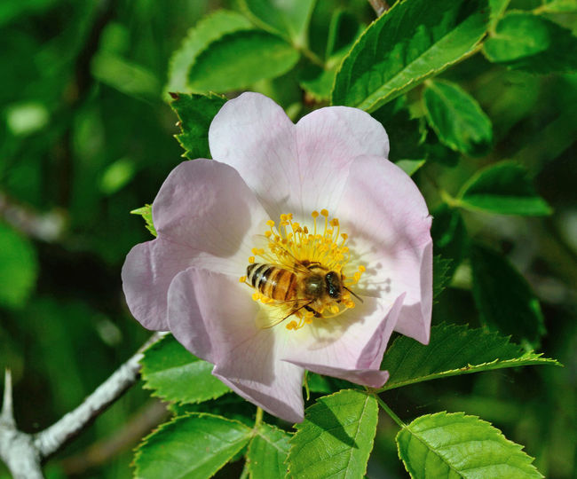 Flower Flowering Plant Pollen Pollination No People Outdoors Animal Themes Animals In The Wild Insect Bee Focus On Foreground Nature Flower Head Petal Close-up Freshness Leaf Beauty In Nature Rose Hip EyeEm Nature Lover EyeEmNewHere EyeEm Best Edits