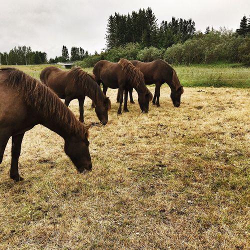 Horse Feeding Horses Grass Identical Horses Icelandic Horse