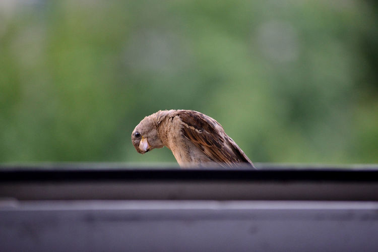 A sparrow at the window Animal Themes Animals In The Wild Bird Bird Photography Close-up Funny FUNNY ANIMALS Green Background One Animal Outdoors Perching Sparrow