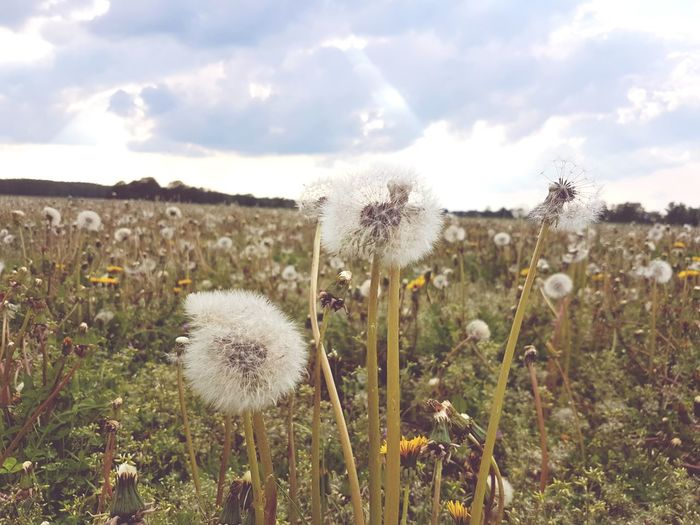 Nature Plant Outdoors Sky Pusteblume Dandelion Field Dandelion Flower Dandelion In Spring Dandelion Collection Dandelion Cloud - Sky