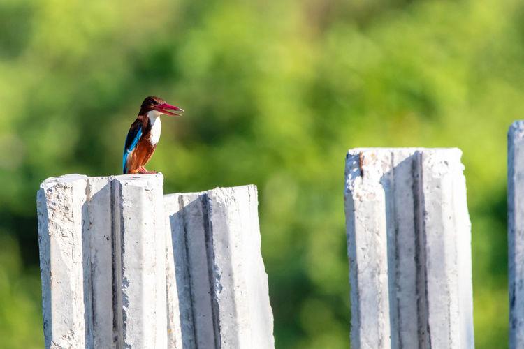Bird Birds Bird Photography Birds Of EyeEm  Bird Watching Stork-billed Kingfisher Stork-billed Kingfisher Phot Animal One Animal Animals In The Wild Nature Animal Wildlife Outdoors
