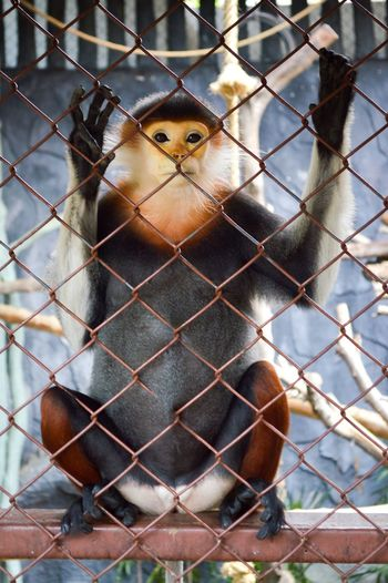 Pygathrix Nemaeus Red-shanked Douc Animal Animal Themes Animals In The Wild Bird Cage Close-up Closeup Cute Day Domestic Animals Focus On Foreground Langur Looking At Camera Mammal Monkey No People One Animal Outdoors Portrait