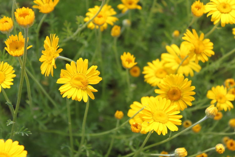 Beauty In Nature Blooming Close-up Day Field Flower Flower Head Fragility Freshness Growth Nature No People Outdoors Petal Plant Yellow
