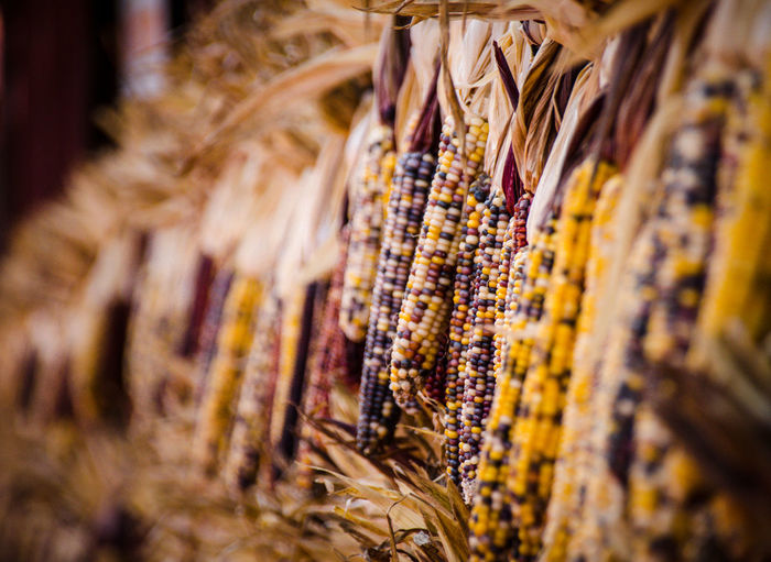 Indian corn Abundance Beauty In Nature Close-up Collection Colorful Corn Crop  Day Dried Food Fall Food Farm Food Full Frame Group Of Objects Hanging In A Row Indian Corn Large Group Of Objects Medium Group Of Objects Nature No People Outdoors Repetition Retail  Selective Focus