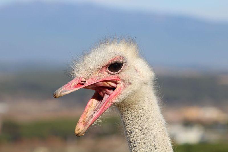 EyeEm Selects Avestruz Animals Animales Sol Estruç Cansala Boca Nature Naturaleza