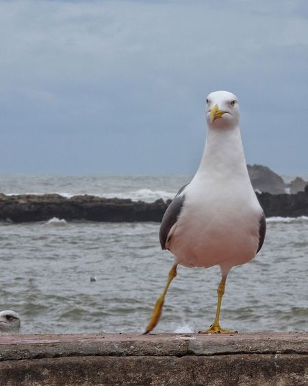 Let's Dance Dance Move Step Bird Gull Seagull Funny Wall Coastline Coast Sea Rocks Waves
