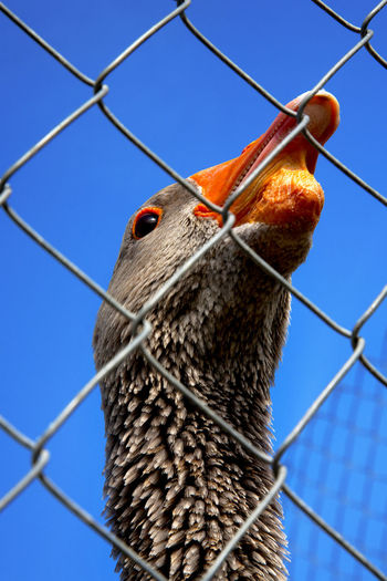 Animal Themes Beak Bird Clear Sky Close-up Goose Low Angle View No People One Animal Outdoors Sky Vertical Wire