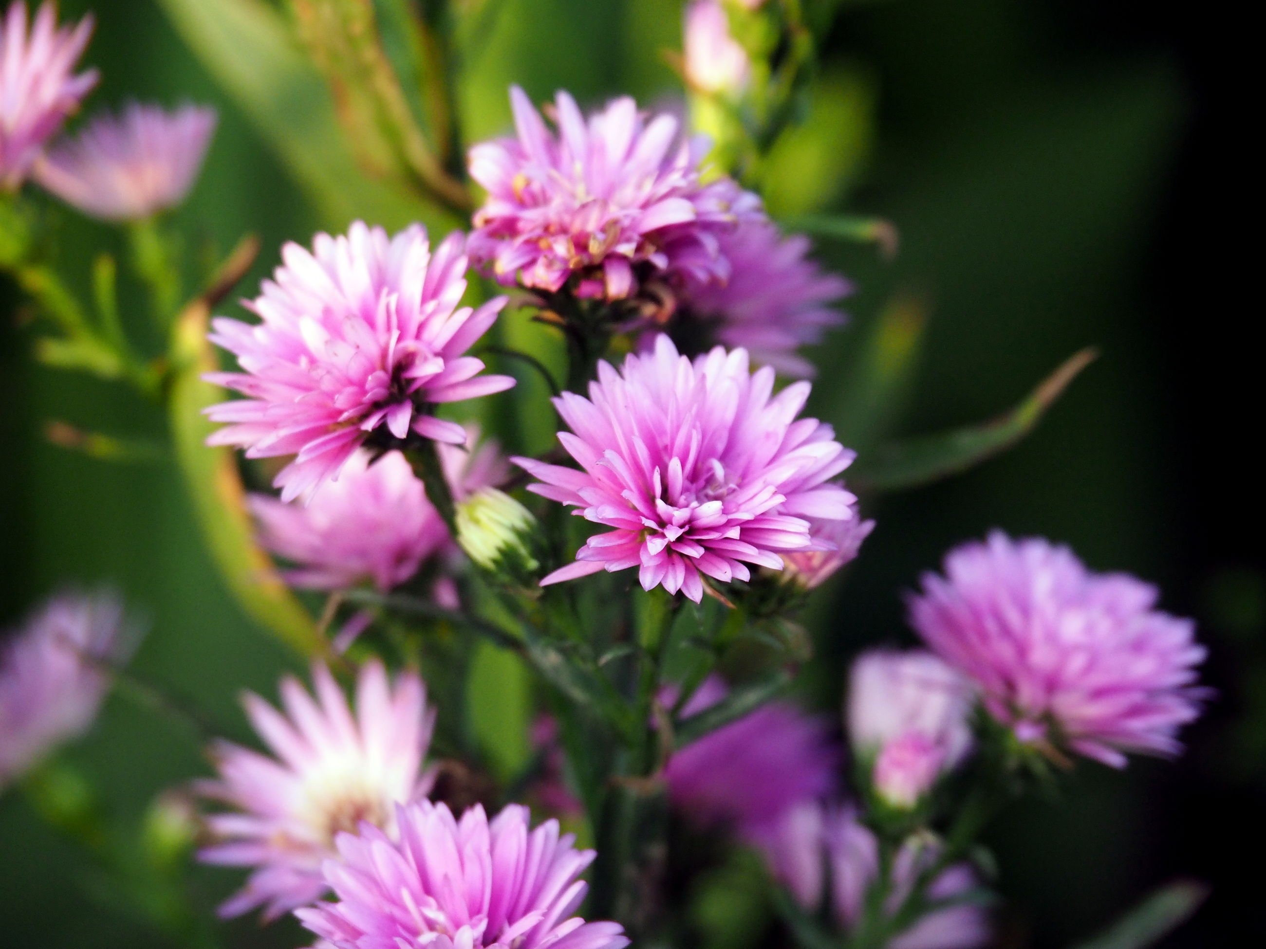 flower, freshness, pink color, petal, fragility, growth, beauty in nature, focus on foreground, close-up, flower head, purple, nature, plant, blooming, pink, selective focus, in bloom, outdoors, day, park - man made space
