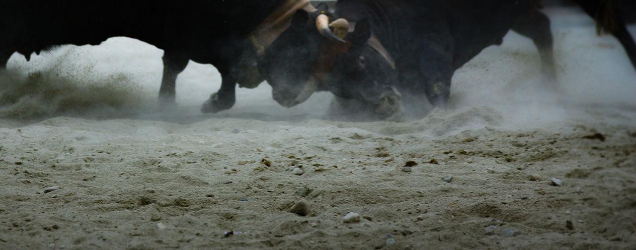 Combat des reines 3 Dominance Effort GroundShot Power Animal Themes Combat Cowcombat Mammal No People Outdoors Power In Nature