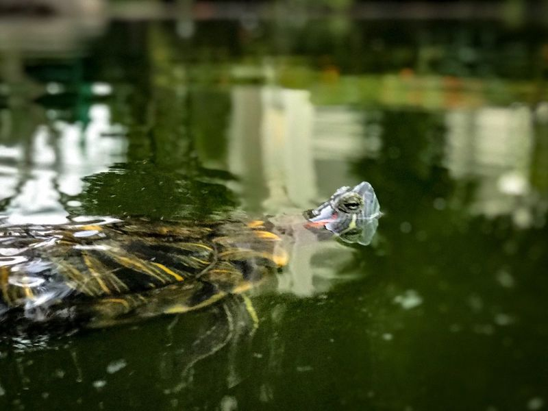 Find me: Just breathing. Life is a blur. Just Breathe Life Is A Blur  Can't Look Back Find Me  Pond Slider Red-eared Slider Trachemys Scripta Elegans Trachemys Scripta Yellow-bellied Turtle Yellow-bellied Slider Pond Tortoise Shell Tortoise December 2018 Water Animal Themes Animal One Animal Animals In The Wild Animal Wildlife Vertebrate Reptile Floating On Water Reflection Swimming Animal Head  Nature Outdoors Day No People