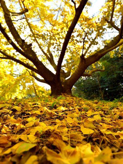 銀杏 銀杏の木 銀杏の絨毯 黄葉 Tree Leaf Beauty In Nature Autumn Forest Nature Japan Japan Photography Nikon
