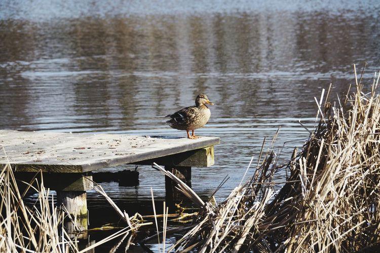 Bird Perching Water Lake Animal Themes Grass Duck Mallard Duck Mandarin Duck Duckling Water Bird Swimming Animal