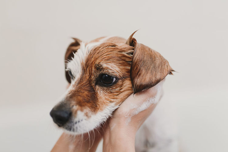 Cropped hands of person bathing dog