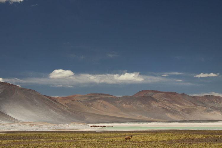 Alpacas or guanacos under the blue skies of piedras rojas, atacama desert, chile