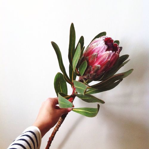 Flower Flower Head Protea Protea Blossom Flower In Hand White Background Close-up Still Life Flowers Flower Collection Holding Flower Personal Perspective Stem Focus On Foreground Petal Leaf Unrecognizable Person Fragility Proteas Protea Flower Business Stories