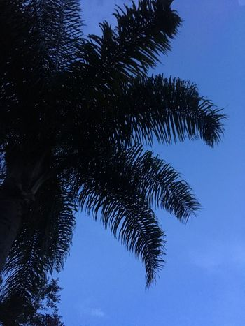 Tree Low Angle View Blue Palm Tree Silhouette Nature Clear Sky No People Sky Outdoors Beauty In Nature Day Close-up Florida
