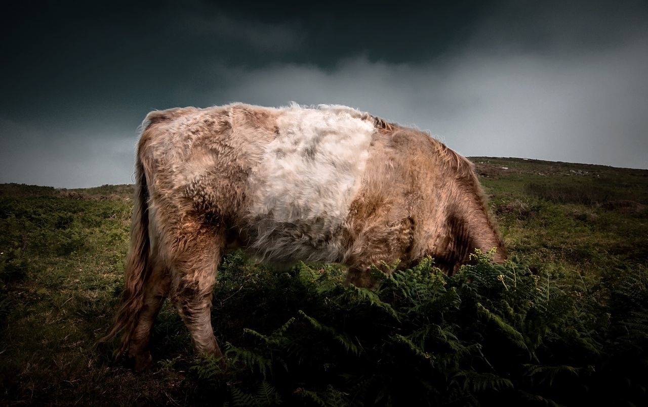 Cow grazing on grassy field against cloudy sky