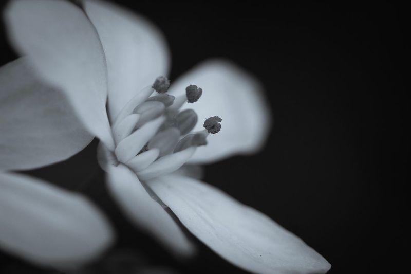 Flower Beauty Beauty In Nature Selective Focus Monochrome Petal Growth Fragility Close-up Indoors  Flowering Plant Flower Plant Nature Pollen