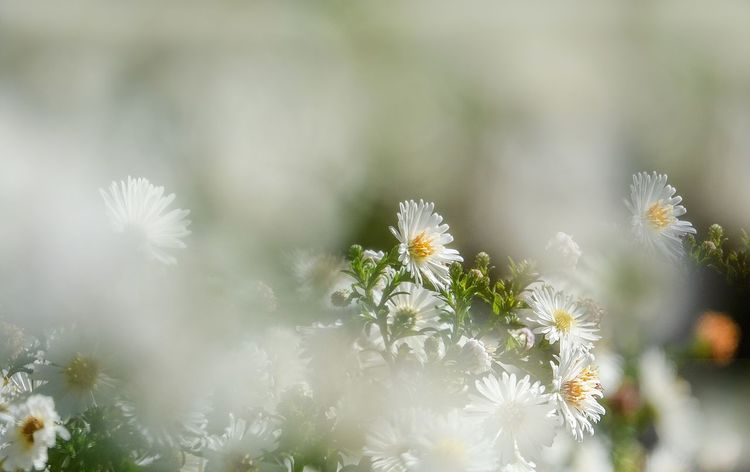Herbstaster Flower Flowering Plant Plant Freshness Beauty In Nature Vulnerability  Fragility Growth White Color Selective Focus Close-up No People Nature Day Petal Flower Head Inflorescence Outdoors Tranquility Focus On Foreground Softness