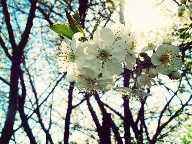 Spring Flowers Flowers In Bloom Flowers Cherry