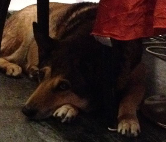 cute old dog at a cafe