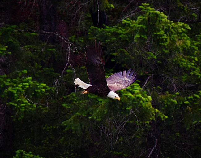 Just Flying by! Eagle Raptor Bald Eagle Large Bird Northern California Mountain Life Fresh Air... EyeEm Nature Lover EyeEm Best Shots - Nature Wildlife & Nature Wild Birds Graceful Fierce ExploreEverything Amazing_captures Follow4follow In The Mountains Birds Of EyeEm