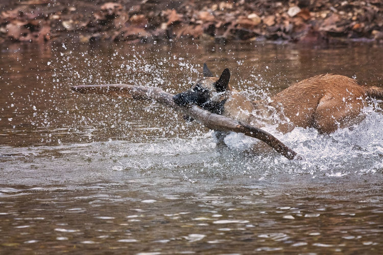 View of dog running in water