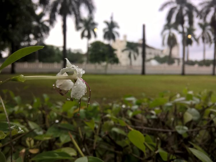 Awesome_nature_shots Beautiful Background Beauty In Nature Chill Climate Flower Flower With Emerging Flower With Emerging G Flower With Rain Drops Fragility Goa Grass Growth In Bloom Lawn Leaf Nature Outdoors Petal Rain Drops On Flowers Rainy Days Selective Focus Single Flower Tranquility White White Color