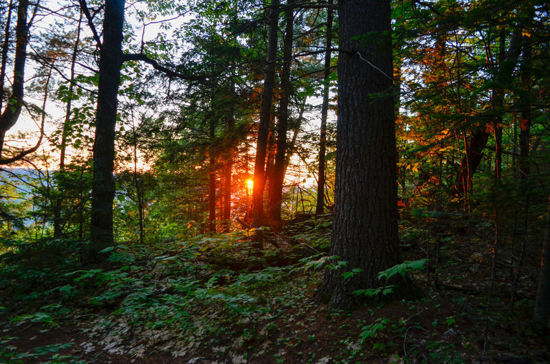 Tree Forest Sunset Tree Trunk Branch Autumn Pine Tree Wilderness Area WoodLand Tree Area