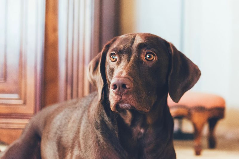 One Animal Mammal Animal Themes Canine Dog Animal Pets Domestic Animals Indoors  Domestic No People Portrait Close-up Animal Head  Animal Eye