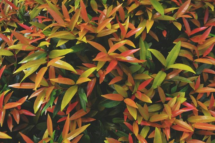Leaf Orange Color Growth Nature No People Close-up Day Outdoors Beauty In Nature Leaves Reddish Greenish Coloured Full Frame Many Plant Orange