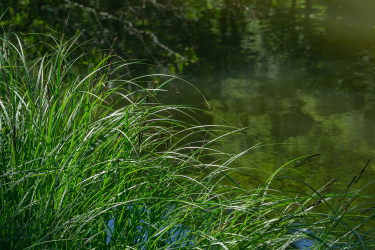 Tufts of grass at a pond Grass Plant Water Green Pond Aquatic Summer Tufts Nature Lake Background Natural Leaf Wild Flora System Eco Details Veins Stagnant Yarns Spontaneous Light Beautiful Beauty Colorful Growth Green Color Land Beauty In Nature Tranquility No People Outdoors Scenics - Nature Focus On Foreground Blade Of Grass Tranquil Scene Landscape