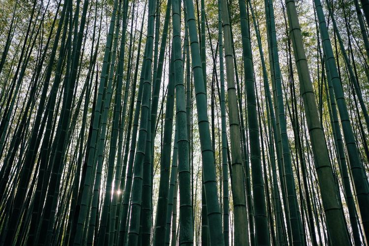 Abundance Backgrounds Bamboo Bamboo - Plant Bamboo Grove Beauty In Nature Day Forest Full Frame Green Color Growth Kyoto Land Low Angle View Nature No People Outdoors Plant Tall - High Tranquility Tree WoodLand